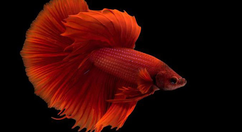 Betta Fish Breeding A Complete Guide To Breeding Betta